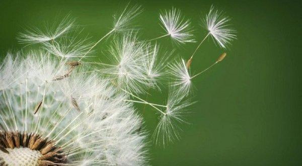 Trồng hoa bồ công anh – loài hoa mong manh bay bay theo gió