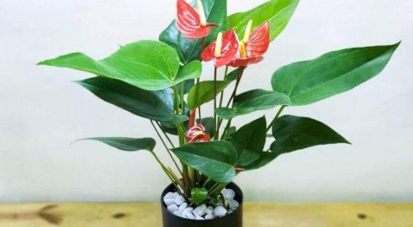 Cây hồng môn loài hoa đẹp rước tài lộc và may mắn vào nhà