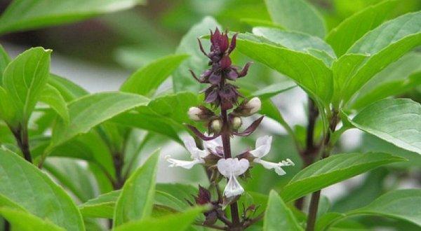 Cây húng quế vừa là rau thơm vừa có nhiều lợi ích mà dễ trồng