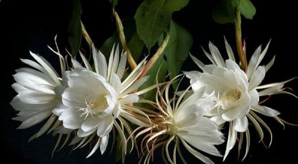 Hoa quỳnh – nữ hoàng bóng đêm – được nhiều người yêu mến